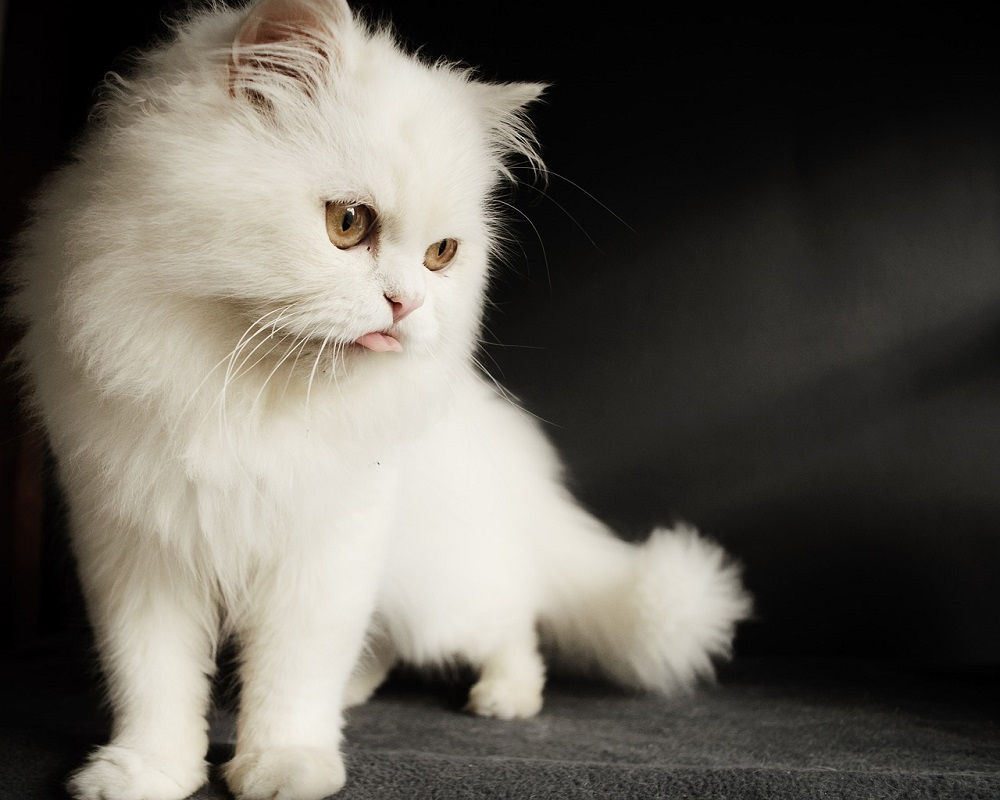 Looking After Persian Cats